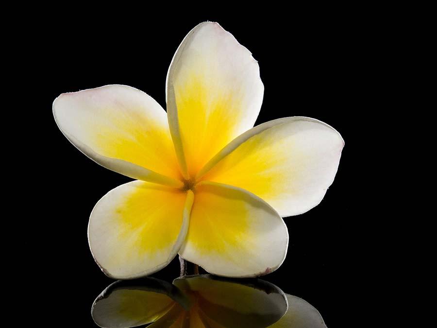 frangipani plumeria fiore giallo